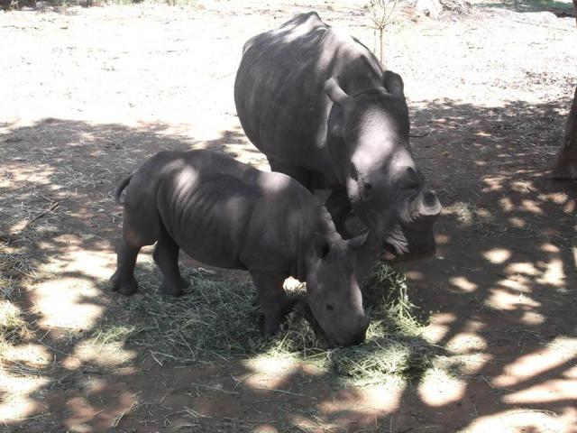Rhinos in a small safari park close to Pretoria