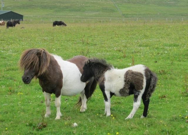 ShetlandPonies