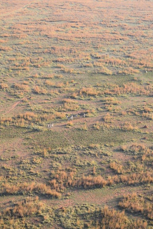 Spot the teeny-tiny zebra...
