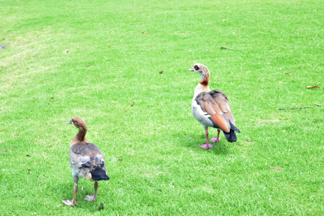 Hello geese!