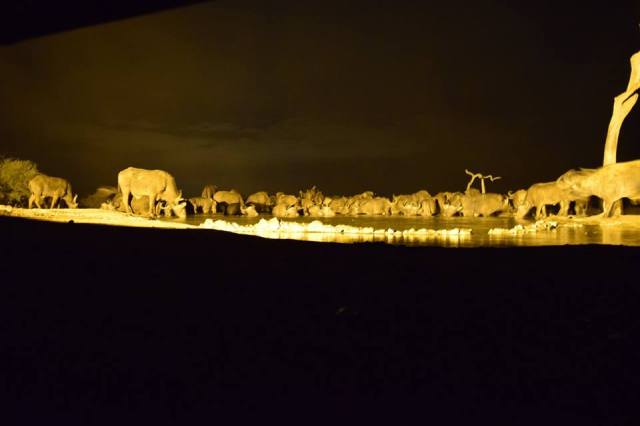 buffaloes at night