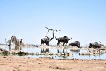 waterhole wildebeasts